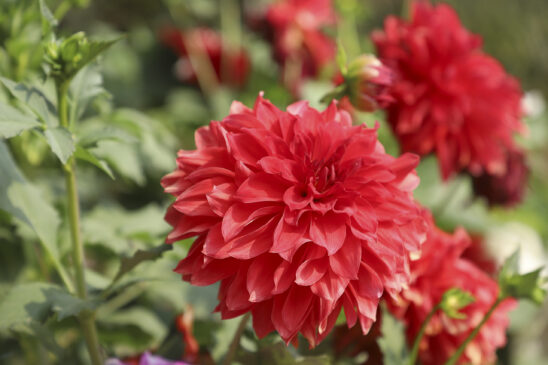 A beautiful Dahlias flower in red tones, Image Gallery