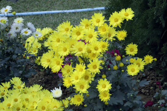 Little yellow Gazania flowers, Popular yellow garden flowers for outside